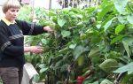 Уход за перцем в теплице: как формировать кусты, фото, видео – выращиваем в теплице