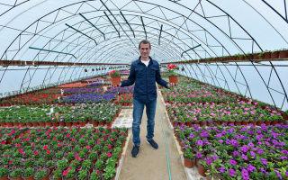 Георгина: значение цветка, фото, видео – выращиваем в теплице