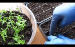 Пикировка бархатцев: когда и как осуществляется, пошаговое фото, видео – выращиваем в теплице