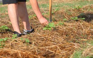 Как правильно мульчировать почву: способы, материалы, технология, как улучшить грунт, выращивать без почвы, фото, видео – выращиваем в теплице