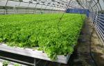Листовой салат: виды, выращивание на гидропонике, в теплицах, как посадить семена, фото, видео – выращиваем в теплице