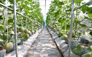 Дыня: выращивание в открытом грунте, теплице, уход, как формировать, подвязывать, фото, видео – выращиваем в теплице
