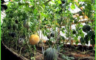 Выращивание арбузов в подмосковье: как вырастить в теплице, посадка, уход, фото, видео – выращиваем в теплице