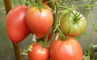 Томат мазарини (55 фото): характеристика и описание сорта, кто сажал помидоры, отзывы, видео – выращиваем в теплице