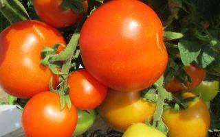 Помидоры красная шапочка (50 фото): характеристика и описание сорта помидор, оранжевая узелок, отзывы – выращиваем в теплице