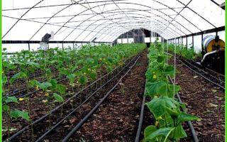 Посадка огурцов в августе в теплице: выбор и подготовка конструкции, правила агротехники, фото, видео – выращиваем в теплице