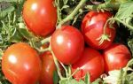 Томат монгольский карлик (50 фото): отзывы, описание помидоров, видео – выращиваем в теплице
