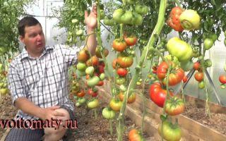 Томат дикая роза (50 фото): описание сорта, отзывы огородников, видео – выращиваем в теплице