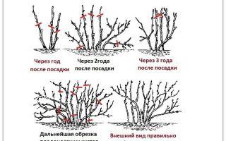 Обрезка смородины осенью для начинающих – как провести работы: схемы и инструкции – выращиваем в теплице
