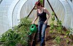 Полив огурцов в теплице: как часто, правильно, норма, молоком, водой, фото, видео – выращиваем в теплице