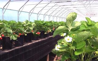 Агротехника клубники: выращивание, посадка, уход, защита от болезней, фото, видео – выращиваем в теплице