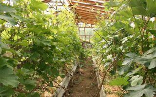 Выращивание винограда в сибири в теплице: посадка, уход, способы, фото, видео – выращиваем в теплице
