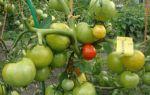 Удобрения для помидоров в теплице: чем удобрять, минеральные, органические, йод, обработка, фото, видео – выращиваем в теплице