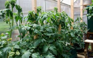 Томаты жируют в теплице: что делать, помидоры, фото, видео – выращиваем в теплице