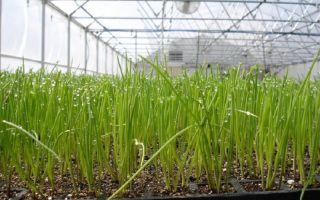 Выращивание лука на перо: из семян в теплице зимой, выбор сорта, технология, фото, видео – выращиваем в теплице