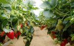 Ампельная клубника: характеристика, выращивание, фото земляники, сорта, уход, видео – выращиваем в теплице