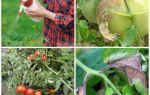 Фитофтора на помидорах: чем обрабатывать, способы лечения, проверенные методы борьбы и профилактики, фото, видео – выращиваем в теплице