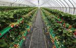 Сорта и виды клубники: для теплиц, нейтрального светового дня, плодоносящих круглый год, семена земляники, фото, видео – выращиваем в теплице