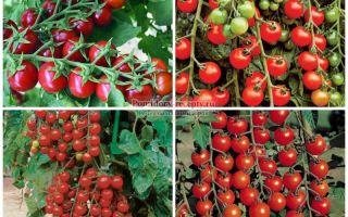 Помидоры черри: лучшие сорта, выращивание, уход, фото, видео – выращиваем в теплице
