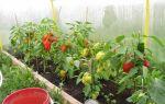 Перец: выращивание и уход в теплице, как правильно вырастить рассаду, секреты урожайности, фото, видео – выращиваем в теплице