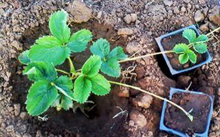 Размножение клубники: усами, розетками, секреты разведения земляники, фото, видео – выращиваем в теплице