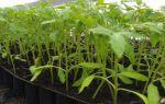 Рассада томатов тонкая и длинная: что делать, почему так происходит, профилактика, фото, видео – выращиваем в теплице