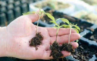 Черная ножка у рассады томатов: что делать, меры борьбы, фото, чем лечить и обрабатывать, видео – выращиваем в теплице