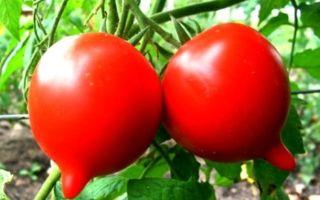 Томат примадонна (35 фото): описание и отзывы, помидоры сорта – выращиваем в теплице