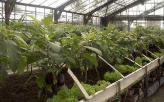 Как поливать баклажаны в теплице из поликарбоната: частота и правила полива, особенности, фото, видео – выращиваем в теплице