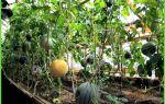 Арбуз и дыня – выращиваем в теплице