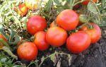 Лучшие сорта помидор для открытого грунта (50 фото): какие низкорослые томаты, какие самые урожайные, хорошая рассада, карликовые и крупноплодные, какие ранние, какой уход, описание – выращиваем в теплице