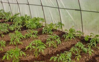 Посадка помидор в парник: высадка рассады томатов в теплицу, как правильно ухаживать под пленкой, из семян – выращиваем в теплице