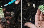 Лук-порей: посадка и выращивание, фото, видео – выращиваем в теплице