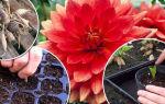 Низкорослые георгины: посадка и уход, фото сортов с названиями, выращивание, видео – выращиваем в теплице