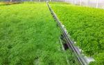 Выращивание укропа: в открытом грунте, открытом грунте, советы, фото, видео – выращиваем в теплице