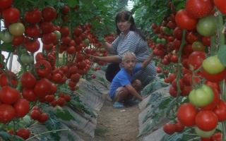 Нужно ли собирать зеленые помидоры в теплице – выращиваем в теплице