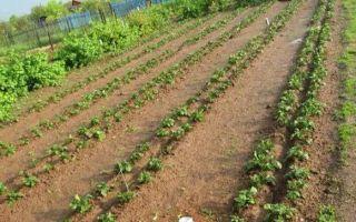 Посадка картофеля по митлайдеру: технология,сроки, правила выращивания, фото, видео – выращиваем в теплице