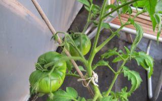Паутинный клещ на помидорах: как бороться на рассаде, кустах, фото, видео – выращиваем в теплице