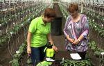 Уход за огурцами в теплице: как правильно ухаживать, полив, подкормка, фото, видео – выращиваем в теплице