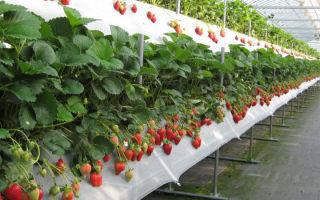 Выращивание клубники по голландской технологии: преимущества, описание метода, советы, фото, видео – выращиваем в теплице