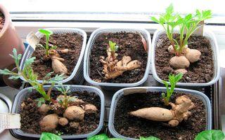 Как посадить георгины клубнями дома: посадка в горшок, как прорастить, выращивание из семян в домашних условиях, уход, фото, видео – выращиваем в теплице