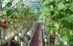 Огурцы в ведре: выращивание, посадка, уход, фото, видео – выращиваем в теплице