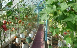 Рассада помидоров: как ее вырастить, сажать, ухаживать, фото, видео – выращиваем в теплице