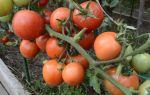 Томат чудо земли: описание, отзывы, фото сорта помидоров тех, кто сажал, видео – выращиваем в теплице