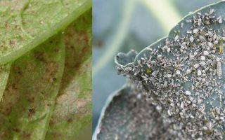 Вредители и болезни – выращиваем в теплице