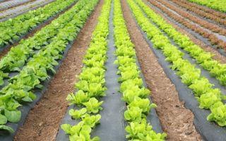 Как вырастить салат айсберг: в теплице, открытом грунте, фото, видео – выращиваем в теплице