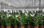 Цветок спатифиллум: виды и особенности ухода – выращиваем в теплице