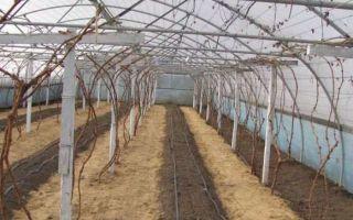 Выращивание винограда: уход, как правильно вырастить из косточки, как развести, технология посадки, фото, видео – выращиваем в теплице