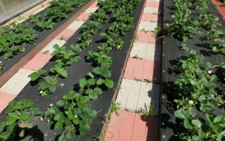 Посадка клубники на агроволокно: преимущества, технология, фото, видео – выращиваем в теплице