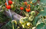 Томат ляна (55 фото): характеристика и описание сорта, помидоры розовые, отзывы – выращиваем в теплице